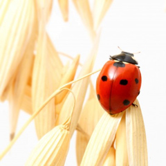 Close-up of a ladybird on ripe oats