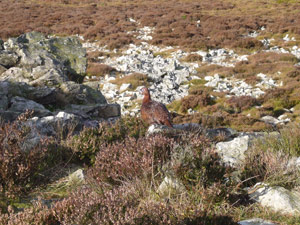Red grouse on the Stiperstones in Shropshire: licensed under the GNU Free Documentation Licence