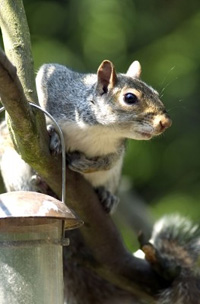 A grey squirrel investigates a bird-feeder containing nuts