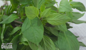 Bai horapha - Thai sweet basil