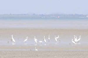 Large white wading birds on mud flats